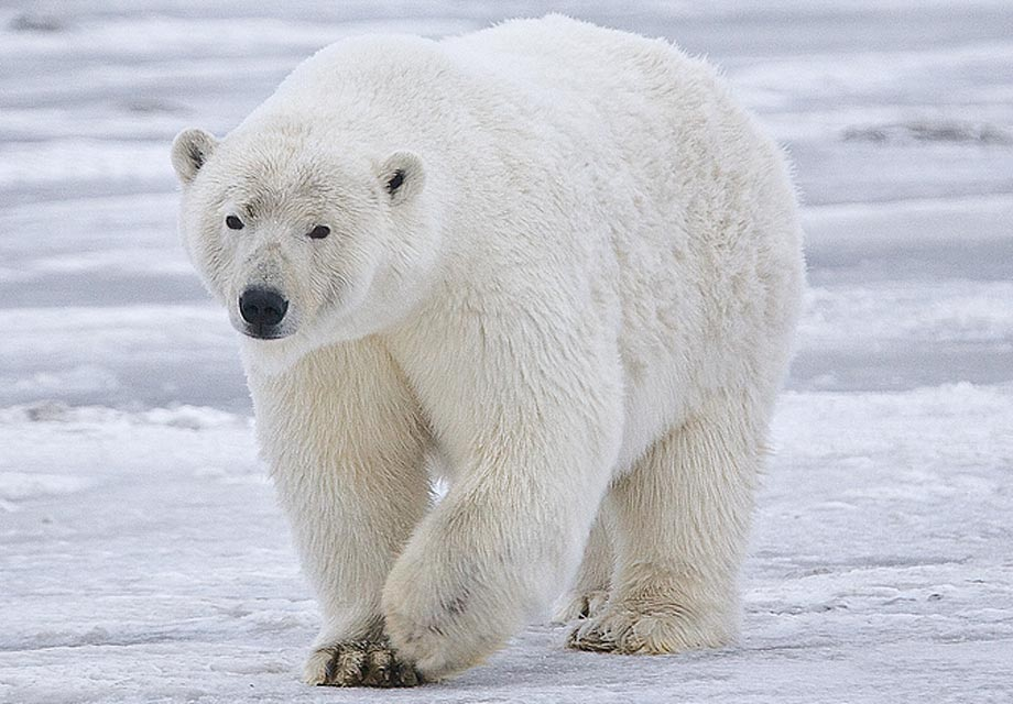 ours blanc - Photo